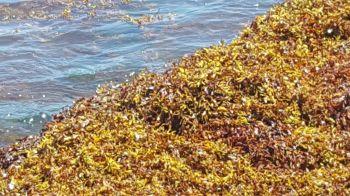 More of the pungent marine vegetation. Photo: VINO