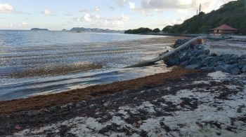 Brandywine Bay beach was not spared of the sargassum invasion. Photo: VINO