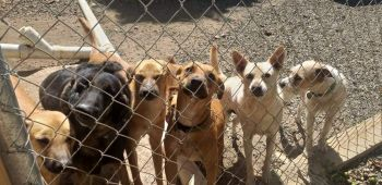 In October of 2019 the Humane Society of the BVI had more than 70 dogs and 20 cats at its shelter in Johnson's Ghut. Photo: Facebook