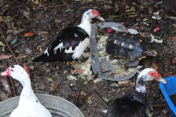 Ducks and a turtle share a space at the Humane Society of the BVI. Photo: VINO