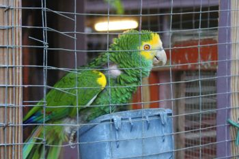 A curious parrot at the Humane Society of the BVI. Photo: VINO