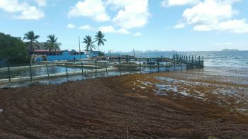 Build-up of sargassum at Prospect Reef. Photo: VINO