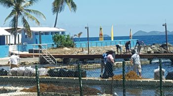 Bags and bags of the unwanted sargassum being collected. Photo: VINO