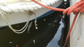 Small dead fish floating near Village Cay in Road Town. Photo: VINO