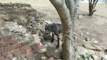 This hapless dog was brought and tied to a tree outside the animal shelter on Wednesday October 7, 2015. Photo: VINO