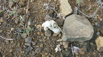 Part of a goat skull found yesterday on Jost van Dyke. Photo: VINO