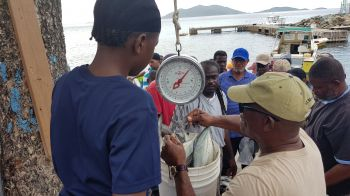 Weighing a bucket catch of Hard Nose at the Oliver Turnbull aka 'Ollie' Fisherman's Tournament in Carrot Bay today, August 8, 2019. Photo: VINO