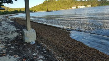 Brandywine Bay beach was not spared of the sargassum invasion. Photo: VINO