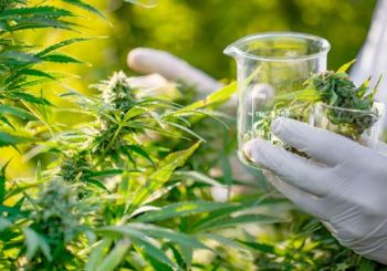 In a surprising announcement, Government Jaspert highlighted that as part of the green agenda, legislation will be pushed for the production and sale of marijuana for medicinal purposes. Photo: Internet Source