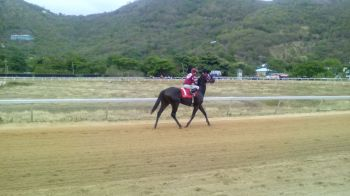 One of the horses in the final race which has now become the feature race for fans. That race has been sponsored by JoAnn 'Roxie' Romney and the Virgin Islands Party. Photo: VINO