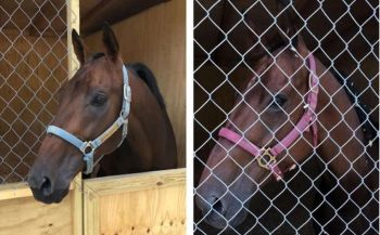 Flying to Honor (left) and Burndines are two of the horses from Antigua expected to feature at the Easter Races at Ellis Thomas Downs on April 21, 2019. The participation of the St Thomas, US Virgin Islands horses is now uncertain. Photo: Team of Reporters