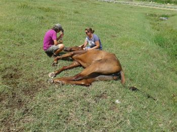 A horse that had to be put to sleep at Ellis Thomas Downs in Sea Cows Bay after suffering injuries in Hurricane Irma. Photo: VINO
