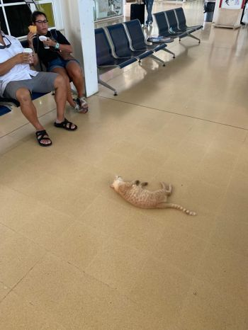 A cat naps peacefully in front of passengers at the Terrance B. Lettsome International Airport on Beef Island. Photo: Team of Reporters