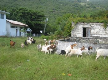 A project reportedly being spearheaded by the BVI National Parks Trust to reduce the goat population of Great and Little Tobago has upset residents of Jost Van Dyke. Photo:travbuddy.com