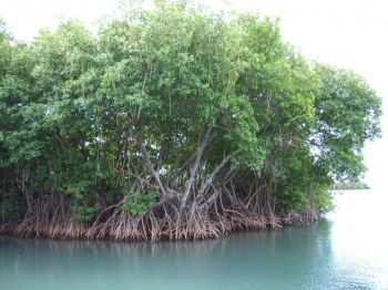 According to a Government Information Service (GIS) press release today December 8, 2017, 'Mangroves are salt tolerant trees that once extensively covered most of the southern coastlines of the VI, but are now very limited in number due to clearing and pollution over the years.' Photo: Internet Source