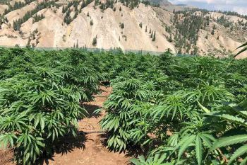 An outdoor marijuana farm in Colorado, USA. Photo: Colorado Cannabis Tours